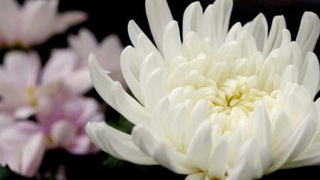 菊イメージ